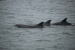 Atlantic humpback dolphins in the coast of Namibia, Valwis Bay