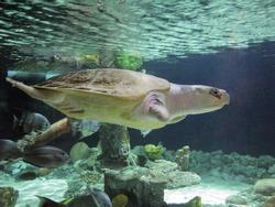 Atlantic or Kemp Ridley critically endangered sea turtle