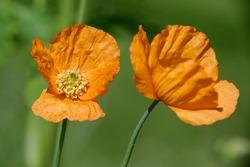 Atlantic Poppy - Papaver atlanticum Two orange flowers
