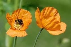 Atlantic Poppy - Papaver atlanticum Two orange flowers with Buff-tailed Bumblebee - Bombus terrestris
