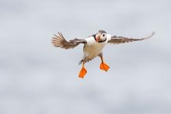 Atlantic Puffin (Fratercula arctica) adult, flying against sky, Great Saltee, Saltee Island, Ireland.
