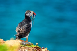 Atlantic Puffin - Fratercula arctica, also known as the common puffin, is a species of seabird in the auk family. his puffin has a black crown and back, pale grey cheek patches and white underparts.