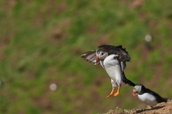 Atlantic puffin (Fratercula arctica) coming in to land on Skomer Island off the coast of Pembrokeshire in Wales, United Kingdom