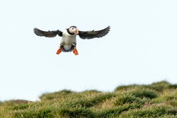 Atlantic puffin (Fratercula arctica) flying above cliff, Mistaken Point Ecological Reserve, Avalon Peninsula, Newfoundland and Labrador, Canada