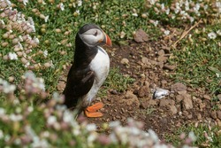 Atlantic puffin (Fratercula arctica) nesting amongst spring flowers on Skomer Island off the coast of Pembrokeshire in Wales, United Kingdom