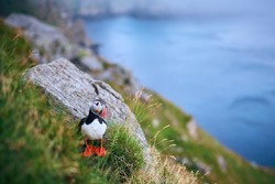 Atlantic puffin (Fratercula arctica) on the island of Runde in the Norway. Beautiful little bird with red bill of bird. Wild scene with arctic animals.