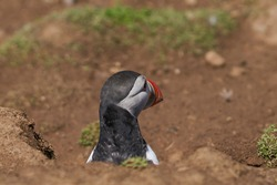 Atlantic puffin (Fratercula arctica) peering out of its burrow on Skomer Island off the coast of Pembrokeshire in Wales, United Kingdom