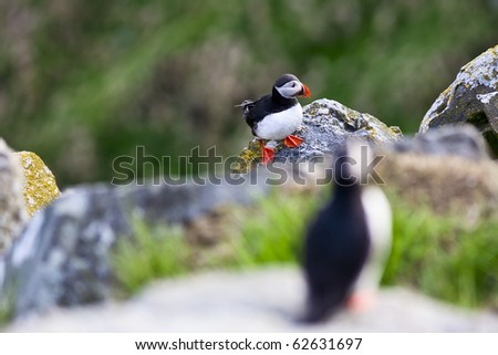 Atlantic Puffin on a cliff