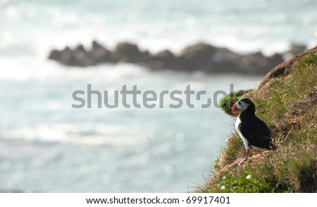 Atlantic Puffin on a ledge at Latrabjarg, Iceland