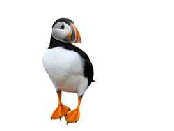 Atlantic Puffin on White Background, Isolated Portrait