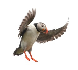Atlantic Puffin or Common Puffin - Fratercula arctica in flight