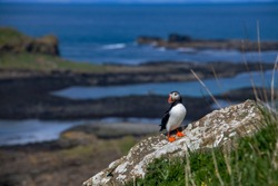 Atlantic puffin photographed in Scotland, in Europe. Picture made in 2019.