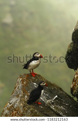 Atlantic Puffin sitting on cliff, bird in nesting colony, arctic black and white cute bird with colouful beak, bird on rock, green background, Runde, Norway