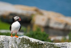 Atlantic puffin stands guard on rocky island on the northern coast of Maine. Atlantic puffins are an endangered species of seabirds.