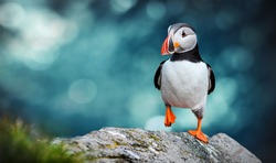 Atlantic Puffins bird or common Puffin in ocean blue background. Fratercula arctica. Norway most popular birds.