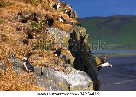 Atlantic Puffins colony, Dyrholaey Iceland