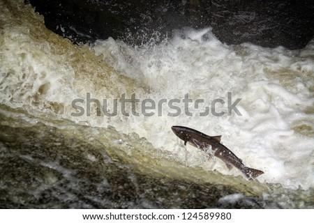 Atlantic Salmon (Salmo salar) leaping in turbulent waterfalls in Perthshire, Scotland