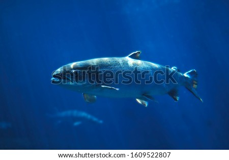 Photo of  ATLANTIC SALMON salmo salar SWIMMING IN BLUE WATER IN QUEBEC