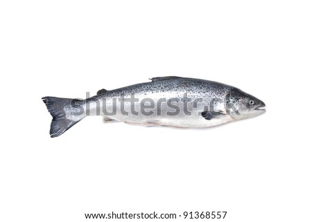 Atlantic Salmon Salmo solar whole isolated on a white studio background.