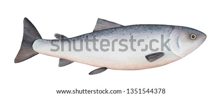 Atlantic salmon watercolor illustration. One single fish. Symbol of abundance, prosperity, good health, nature, moving. Handdrawn watercolour on white background, cut out clip art element for design.