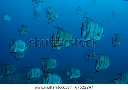 Atlantic Spadefish swimming over a reef in south east Florida.