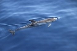 Atlantic spotted dolphin (Stenella frontalis). Picture taken during a whale watching trip in the south of Tenerife, Spain