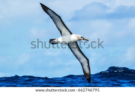 Atlantic Yellow-nosed Albatross #662746795