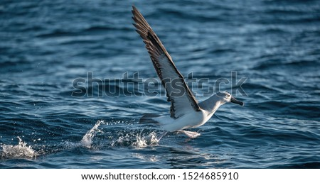 Atlantic yellow-nosed albatross takes off, running on the water. Scientific name: Thalassarche chlororhynchos. Cape Point. South Africa.  #1524685910