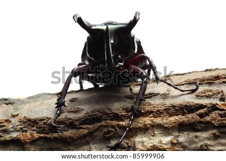 Atlas beetle on sawtooth oak - stock photo