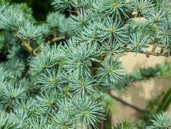 Atlas cedar (Cedrus atlantica) is a cedar native to the Atlas Mountains of Morocco.