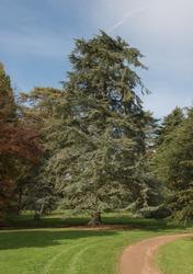 Atlas Cedar Tree (Cedrus atlantica) in an Arboretum within Parkland in Rural Somerset, England, UK