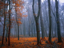 Atmospheric autumn forest in the fog. Yellow and orange leaves on the trees in the morning forest. Beautiful background.