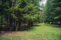 Atmospheric forest scenery with meadow with stones among firs in mountains. Scenic landscape with glade among stones in mountain coniferous forest. Beautiful view to conifer trees in mountain woods.