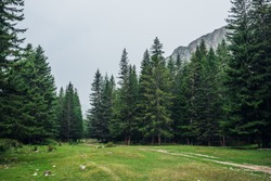 Atmospheric green forest landscape with firs in mountains. Minimalist scenery with edge coniferous forest and rocks in light mist. View to conifer trees and rocks in light haze. Mountain woodland.