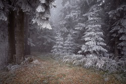 Atmospheric  scene in foggy frozen forest with path. Autumn magic landscape with first snow. Frost on the pine trees in the mist.