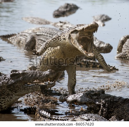 Crocodile Attack Singapore Picture on Attack Crocodile  Cuban Crocodile  Crocodylus Rhombifer  Stock Photo