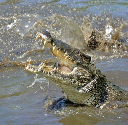 Attack crocodile. Cuban Crocodile (crocodylus rhombifer). The Cuban crocodile jumps out of the water. Cuba