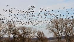 attack of wild gooses