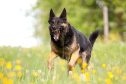 Attacking dog. Aggressive german shepard dor run close with opened mouth and show teeth frontal