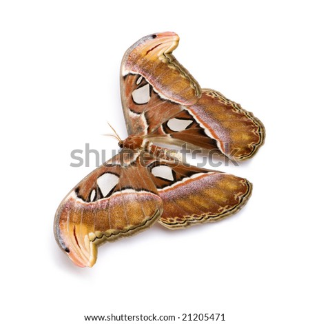 Attacus atlas moth in front of a white background