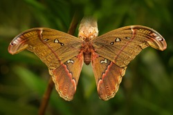 Attacus caesar, moth in Saturniidae family, southern Philippines. Butterfly hatching from cocoon in green vegetation. Wildlife behavior in nature. Beautiful big butterfly in the green tropic forest.
