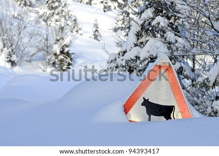 Attention cow trail in winter scenery