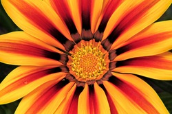 Attention-grabbing closeup of vibrant Gazania flower (African daisy) with brilliantly colored petals in patterns of yellow, red, orange, and bronze.