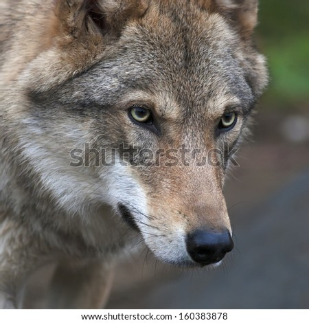 Attention in the eyes of a young, two year old, european wolf female. Face portrait of a forest dangerous beast, Canis lupus lupus, on blur background. Beauty of the wildlife.