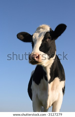 Attentive black and white cow over a blue sky background