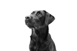 Attentive black labrador dog looking up, side view. Isolated on white background. Obedience concept.
