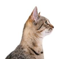 Attentive cat's profile