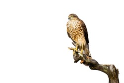 Attentive eurasian sparrowhawk, accipiter nisus, sitting on bough and looking into camera isolated on white background. Bird of prey perched from front view cut out on blank.