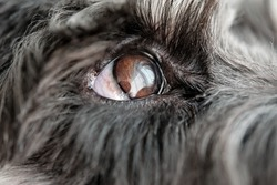 Attentive gray dog with brown eyes