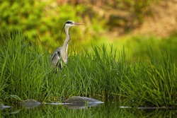 Attentive grey heron, ardea cinerea, hiding in tall green grass near river at sunset in summer. Surprised wild bird peaking out of vegetation with copy space.